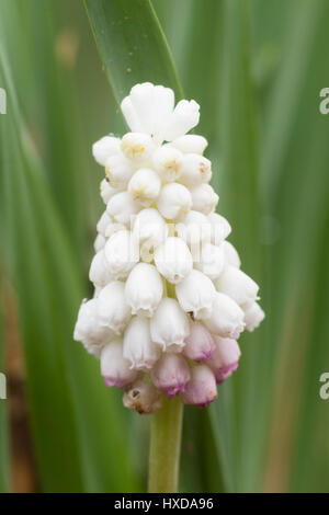 Single flower of the hardy, white, early spring flowering grape hyacinth, Muscari botryoides 'Album' - Stock Photo