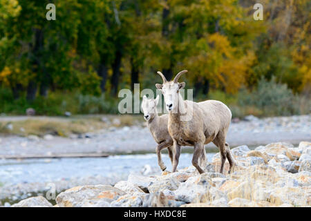 A Bighorn ewe (Ovis canadensis) and her lamb walk along a creek in Autumn, North America - Stock Photo