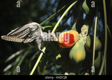 Asian Koel feeding on papaya - Stock Photo