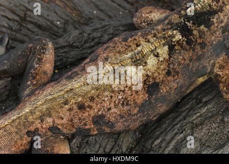 Ecuador, Galapagos, Santiago island, Puerto Egas, Marine iguana skin detail - Stock Photo