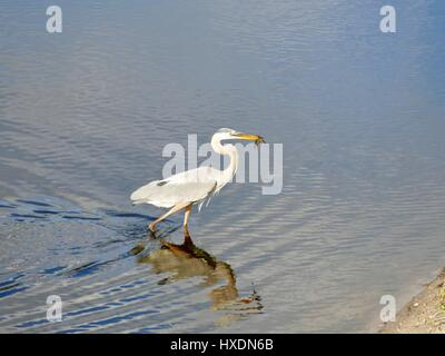 Great blue heron (Ardea herodias) in stride with speared fish on end of its bill. Brown water with ripples. Paynes - Stock Photo