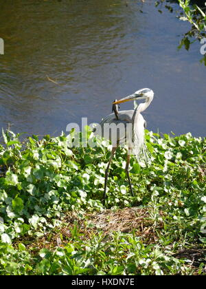 Great blue heron (Ardea herodias), standing, with with fish speared onto its beak and wind blowing bird feathers. - Stock Photo