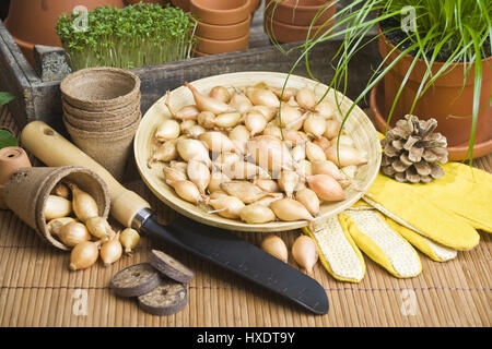 Onions in a bowl with glove and shovel, Onions in a bowl with gloves and shovel |, Zwiebeln in einer Schale mit - Stock Photo