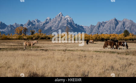 Horses graze in the valley in Grand Teton National Park - Stock Photo