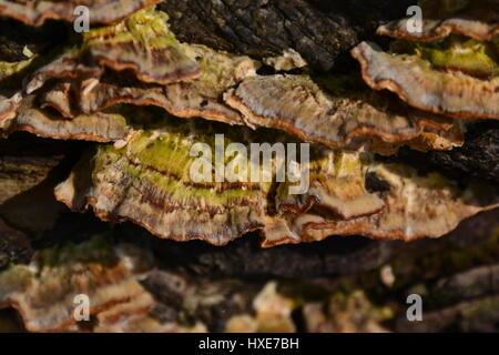 Turkey tail, Trametes versicolor, Coriolus versicolor, Polyporus versicolor, bracket fungus. - Stock Photo