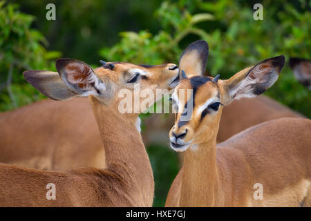 Black-faced Impala Aepyceros melampus sub species of Common Impala Namibia southern Africa - Stock Photo