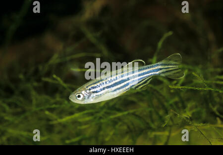 Zebrabärbling, Zebra-Bärbling, Zebrafisch, Danio rerio, Brachydanio rerio, zebrafish, zebra danio - Stock Photo