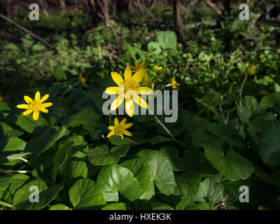 Ficaria verna in flower at the beginning of the printemp. - Stock Photo