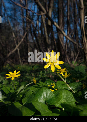 wide-angle lensFicaria verna in flower at the beginning of the printemp. - Stock Photo
