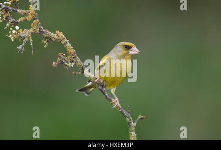 Greenfinch on a Blackthorn branch, early spring 2017, on the Welsh Borders with Shropshire, England,uk - Stock Photo