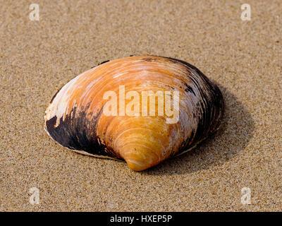 Giant clam sea shell (Arctica islandica, Arcticidae) on the beach near Three Cliffs Bay, Gower Peninsula, South - Stock Photo