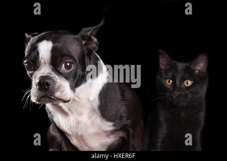Portrait of a sad Boston terrier and a merrily happy black cat isolated on a black background - Stock Photo