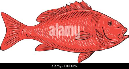 Drawing sketch style illustration of an Australasian snapper, silver seabream, Pagrus auratus, a species of porgie - Stock Photo