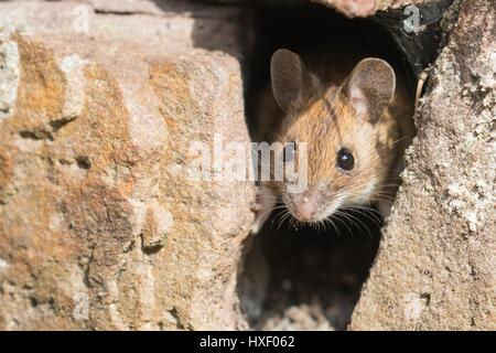 House mouse (Mus musculus) looking out of a hole in stone wall, Germany - Stock Photo