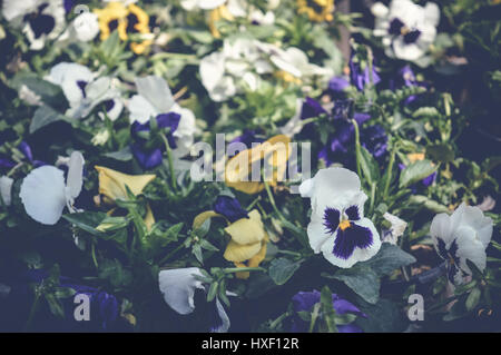 pansy flowers in garden, spring background - Stock Photo