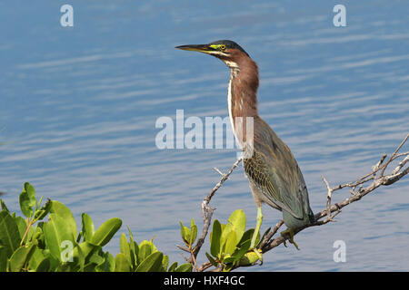 Green Heron perched on branch at Ding Darling National Wildlife Refuge, Sanibel Island, Florida - Stock Photo