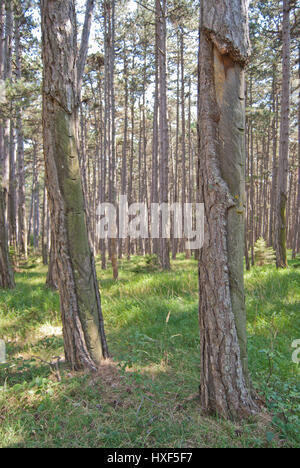 Austrian pine (Pinus nigra) forest with remnants of resin extraction (tapping). Resin chemicals are widely used - Stock Photo