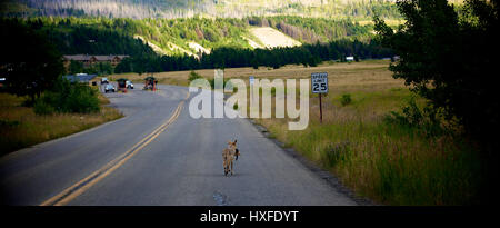 Coyote walking down the middle of the road with a ground squirrel in mouth near the east Saint Mary's entrance of - Stock Photo