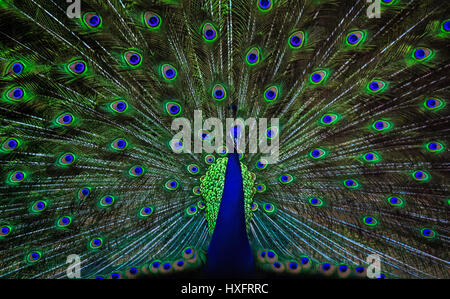 A beautiful blue peacock is dancing to attract its partner Stock Photo