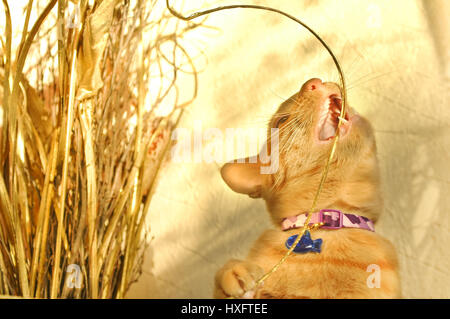 playful red tabby kitten chewing golden christmas decorations - Stock Photo