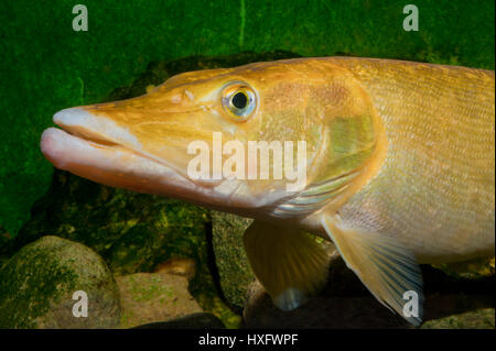 Northern Pike (Esox lucius), golden taxonomic unit, captivity. . - Stock Photo