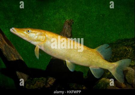 Northern Pike (Esox lucius), golden taxonomic unit, captivity. . - Stock Photo