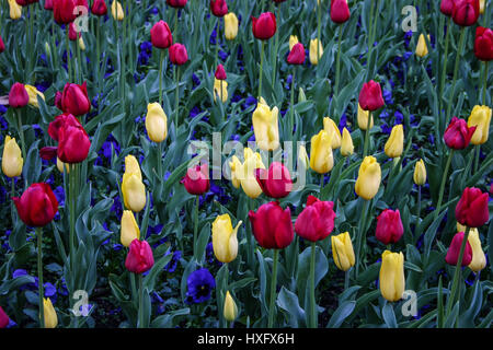 Colorful array of vibrant tulips and pansies. Deep red, pale yellow tulips and purple pansies. - Stock Photo
