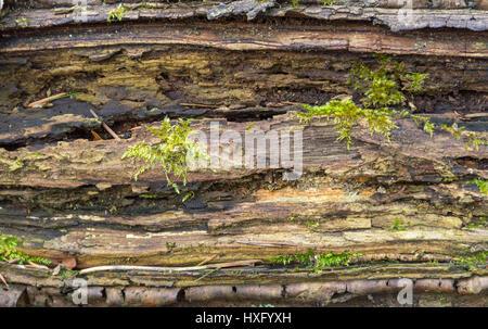full frame rotting mossy wood detail - Stock Photo