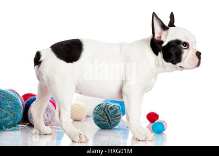 French Bulldog  puppy with a wool balls isolated on white background. - Stock Photo