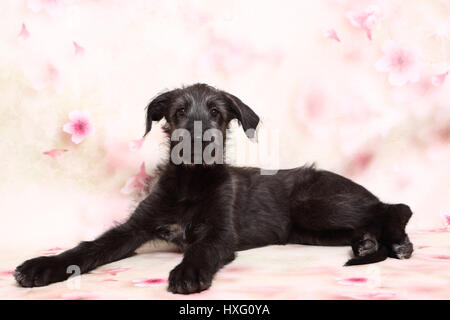 Irish Wolfhound. Puppy (9 weeks old) lying in front of a floral design wallpaper . Studio picture - Stock Photo