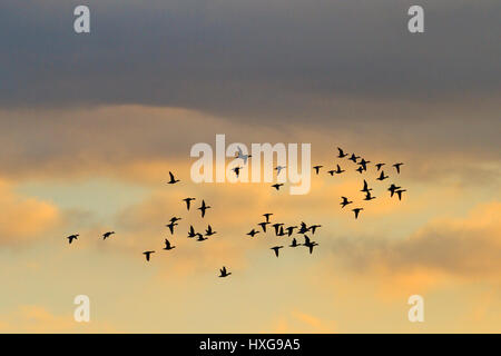 flock of wild ducks flying in the morning sky,migration, spring, - Stock Photo