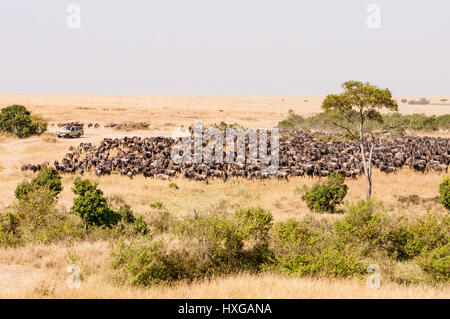 Tourists In Vehicle Watch Large Herd Of Wildebeest On Savannah, Maasai Mara - Stock Photo