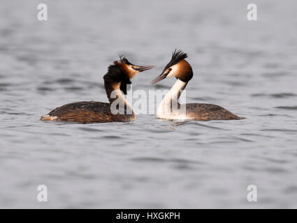 Pair of Great Crested Grebes (Podiceps cristatus) at start of courtship display - Stock Photo