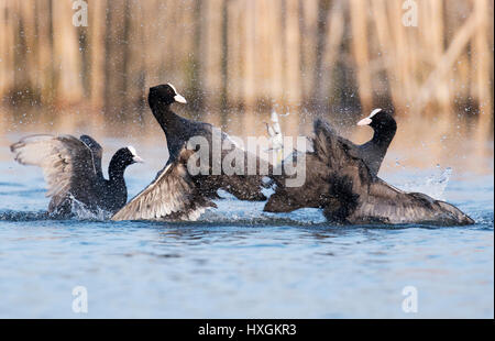 Pair of rival Coots (Fulica atra) fighting for dominance, Warwickshire - Stock Photo