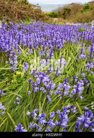 Spanish bluebells Hyacynthoides hispanica in the corner of a field on St Martin's island in the Isles of Scilly - Stock Photo