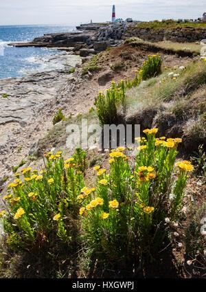 Golden samphire Inula crithmoides in its maritime habitat on the limestone cliffs of Portland Bill on the Dorset - Stock Photo