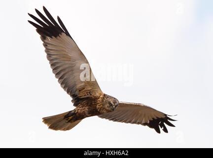 Western marsh harrier Circus aeruginosus Flying female - Stock Photo