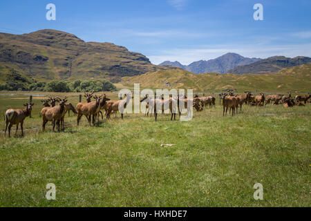 Landscape with elk, also known as moose, in New Zealand photographed in summer season - Stock Photo