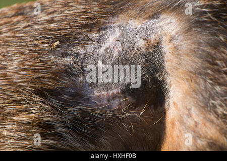 Close up of the flank of a Red Fox (Vulpes vulpes) showing signs of Sarcoptic mange, Hastings, East Sussex, UK - Stock Photo