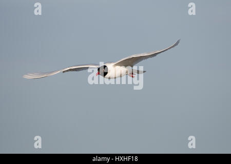 A Mediterranean Gull (Larus melanocephalus) in breeding plumage in flight, Rye Harbour Nature reserve, East Sussex, - Stock Photo