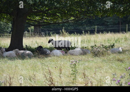 One sheep standing up with sleeping sheep surrounding it in a field under a tree - Stock Photo