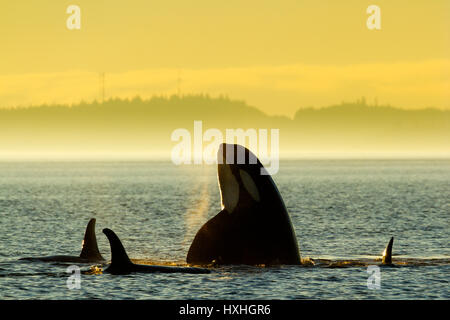 Northern Resident Killer whales playing and spyhopping in front of Alert Bay, Cormorant Island, British Columbia, - Stock Photo