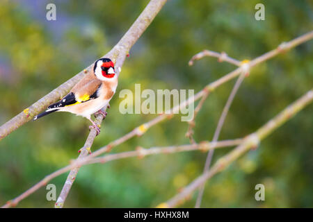 European goldfinch (Carduelis carduelis) sitting on the branch of a tree - Stock Photo