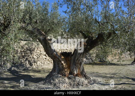 Olive tree, Olea europaea, in a terraced orchard near Quatretondeta, Spain - Stock Photo