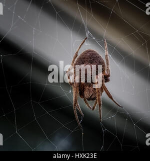 Spring TX USA - March 22, 2017  -  Female Wolf Spider on a web - Stock Photo