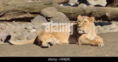Lying down lioness (Panthera Leo Persica) - Stock Photo