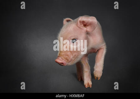 A piglet, one hours old - Stock Photo