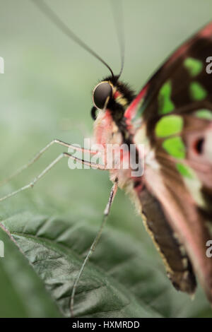Butterfly: Tailed Jay. Graphium Agamemnon. - Stock Photo