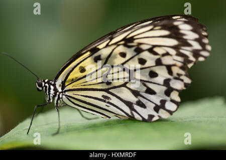 Butterfly: White Tree Nymph. Idea Leuconoe. - Stock Photo