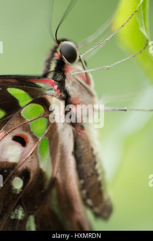 Graphium Agamemnon.     Tailed Jay. - Stock Photo